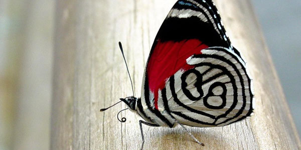Hypnotizing Butterfly