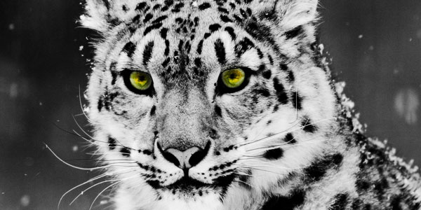 white leopard 30 Stunning Animal Wallpapers
