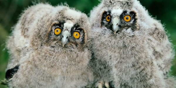 young owls 30 Stunning Animal Wallpapers