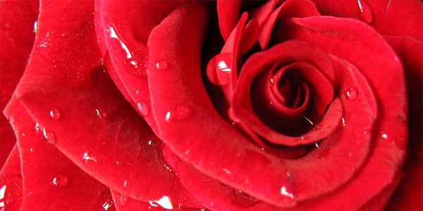 red rose 25 Flower Wallpapers