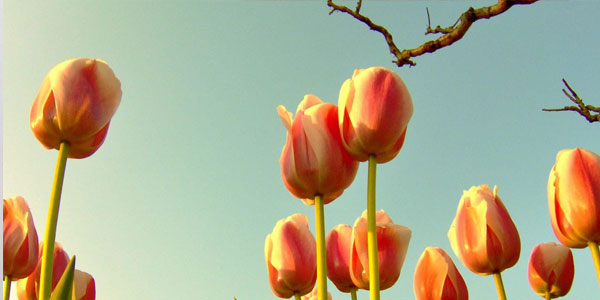 Tulips With Branch
