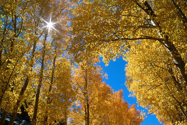yellow trees wallpaper 20 Forest Wallpapers