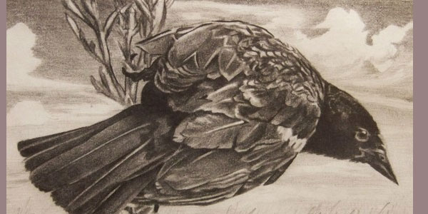blackbird 50 Splendid Pencil Drawings