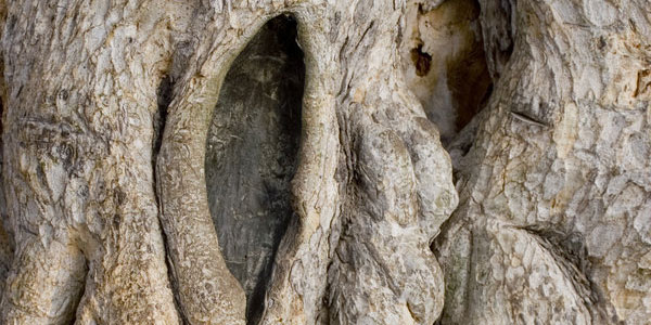 Ancient Tree - Cyprus