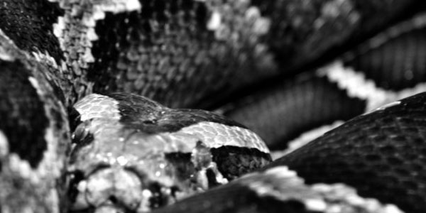 anaconda 70 Useful Black And White Backgrounds