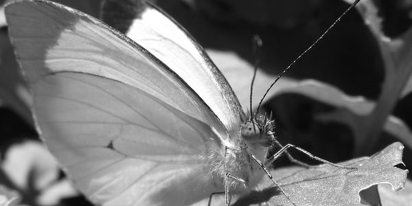 butterfly 70 Useful Black And White Backgrounds