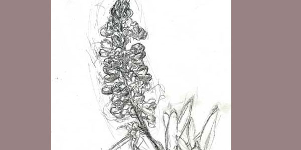 Sketch for Lupine Miniature