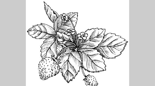 how to draw a strawberry 25 Free Embroidery Patterns