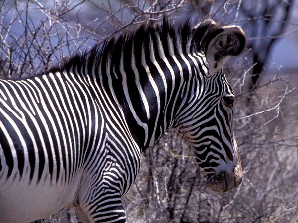 alone zebra wallpaper 25 Zebra Wallpapers