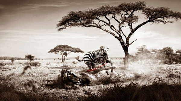 brave zebra wallpaper 25 Zebra Wallpapers