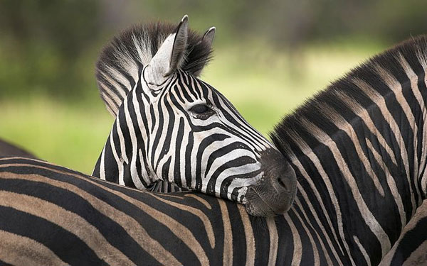 lovely zebra wallpaper 25 Zebra Wallpapers