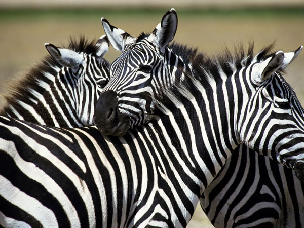 multiple zebra wallpaper 25 Zebra Wallpapers