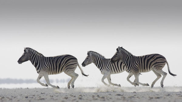 running zebra wallpaper 25 Zebra Wallpapers