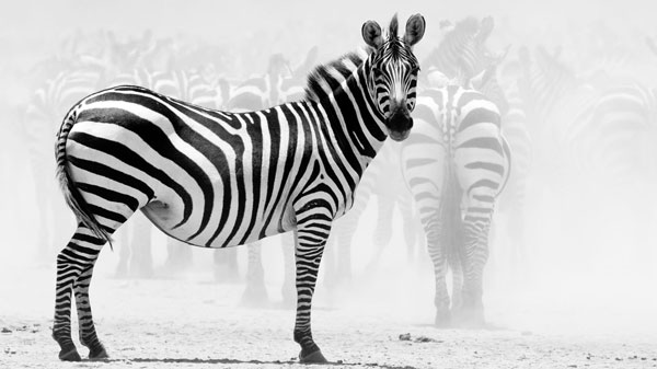 single zebra wallpaper 25 Zebra Wallpapers
