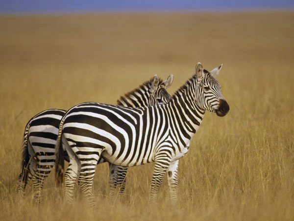 standing zebra wallpaper 25 Zebra Wallpapers