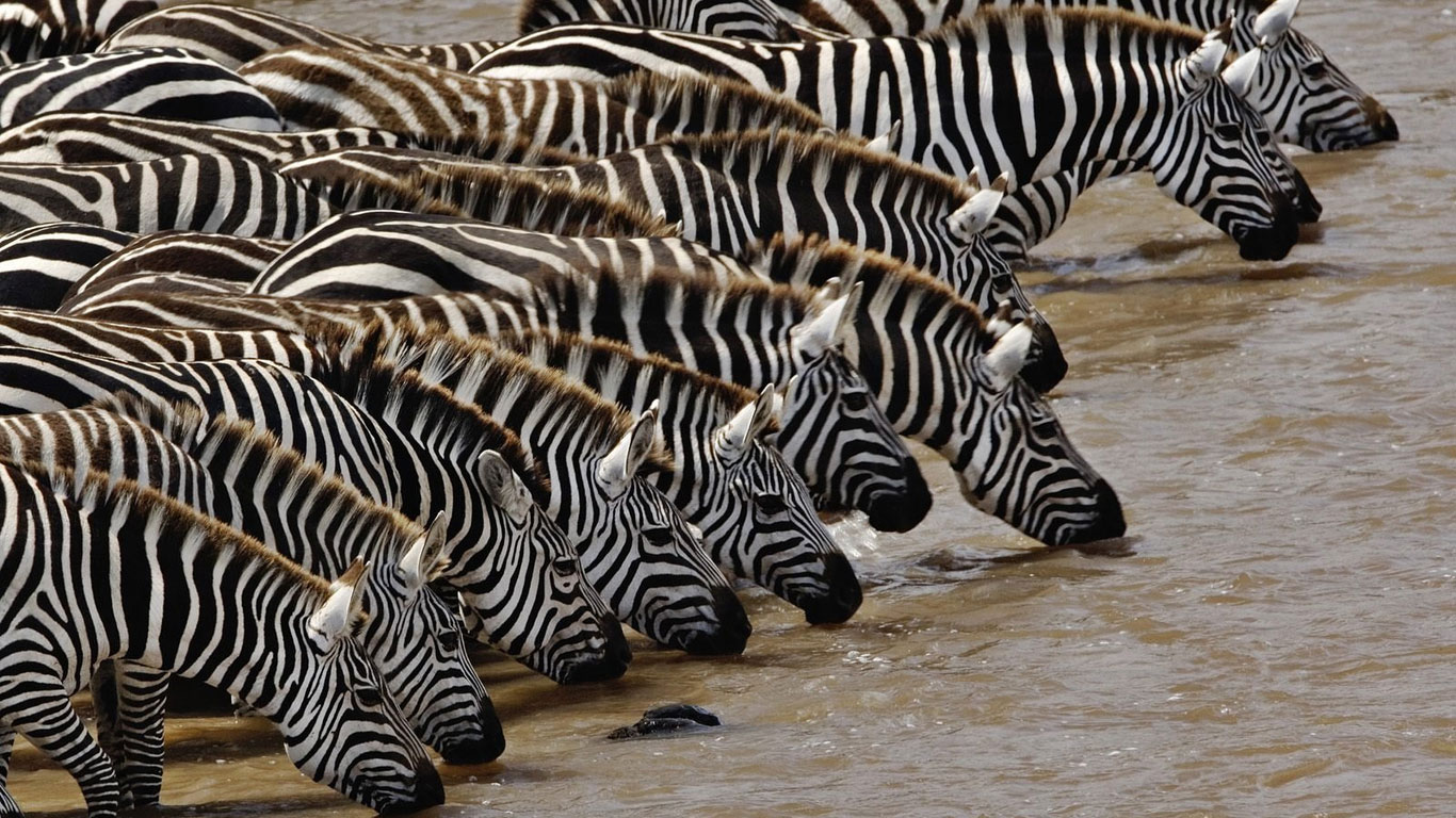 water zebra wallpaper 25 Zebra Wallpapers