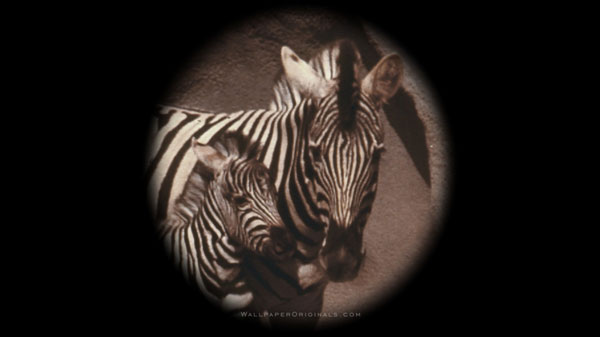zebra colt wallpaper 25 Zebra Wallpapers