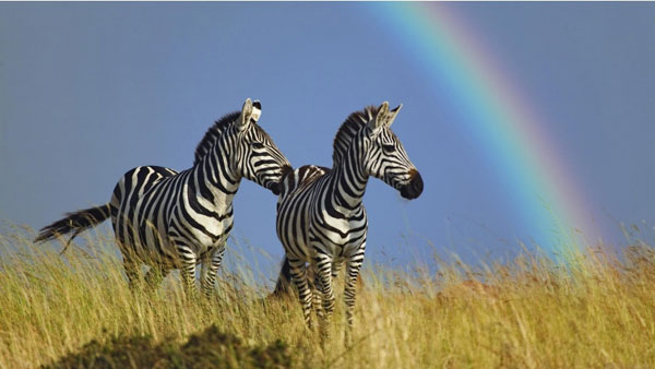 zebra rainbow wallpaper 25 Zebra Wallpapers