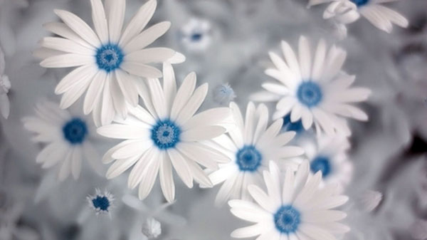blue daisy 40 Beautiful Flowers Wallpapers