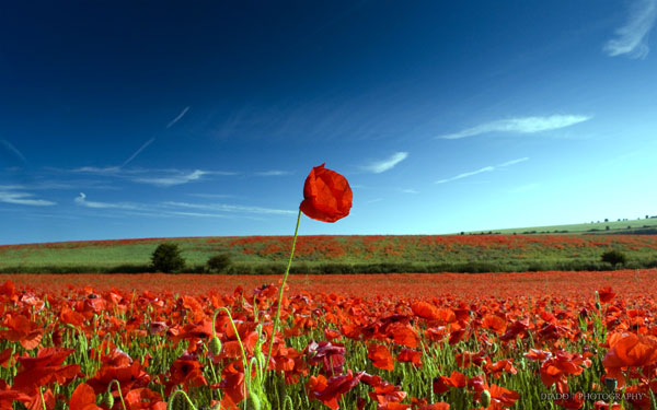 Land of Poppies