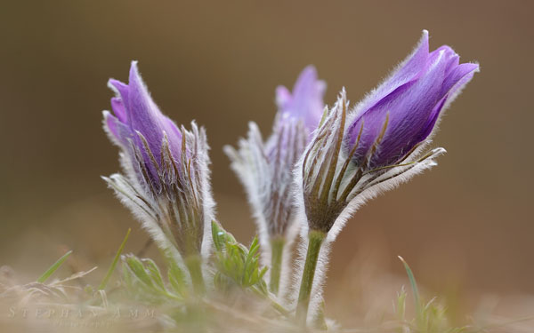 Pulsatilla wallpaper