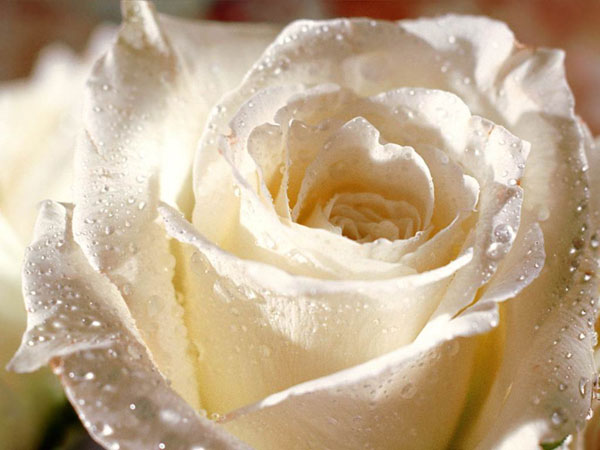 white rose 40 Beautiful Flowers Wallpapers