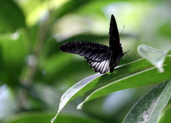 black butterfly 30 Beautiful Butterfly Pictures
