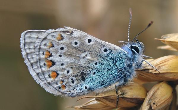 Grey Blue Hairy Butterfly