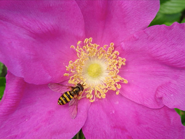 Syrphid Fly On A Rugosa Rose