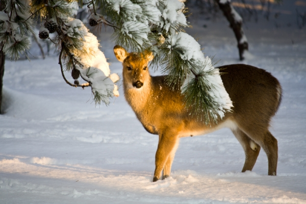 Innocent Deer