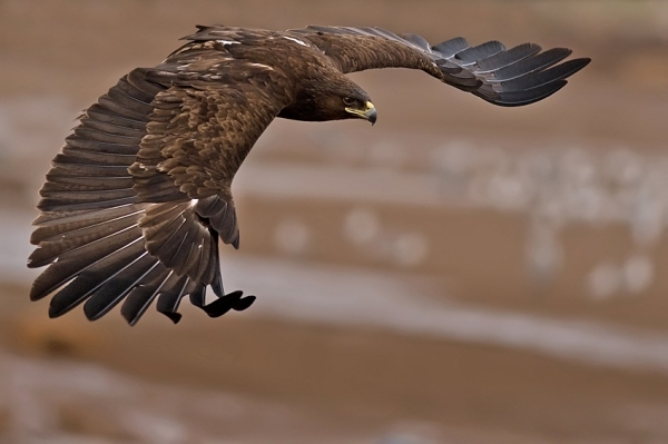 Cool Flying Eagle