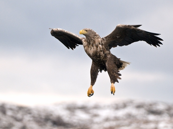 Eagle Preparing For The Attack