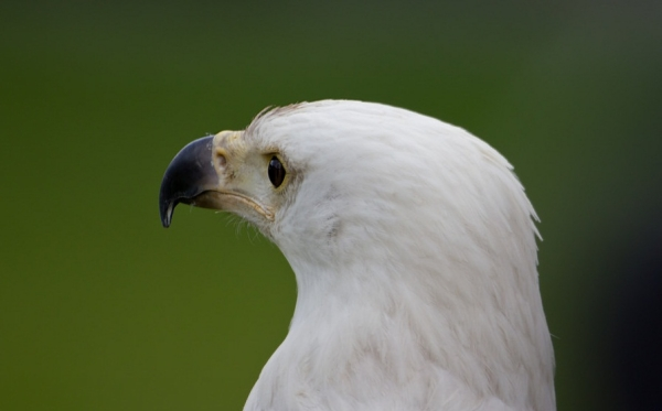 White Eagle Head