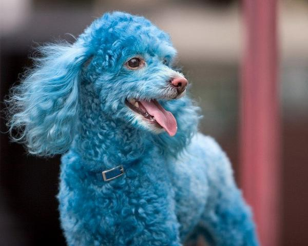 blue poodle dog 35 Funny Pictures Of Animals