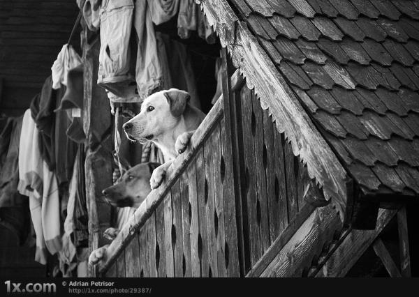 Dogs Looking From A Balcony