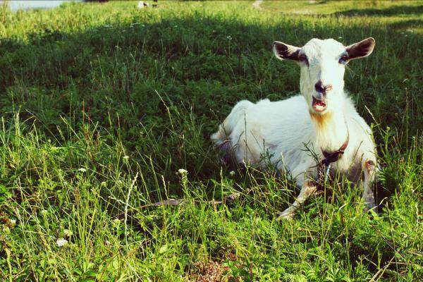 funny goat 35 Funny Pictures Of Animals
