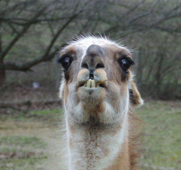 funny llama 35 Funny Pictures Of Animals