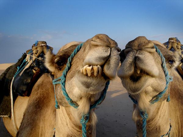 two camels 35 Funny Pictures Of Animals