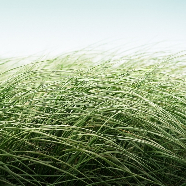 Long Smooth Grass