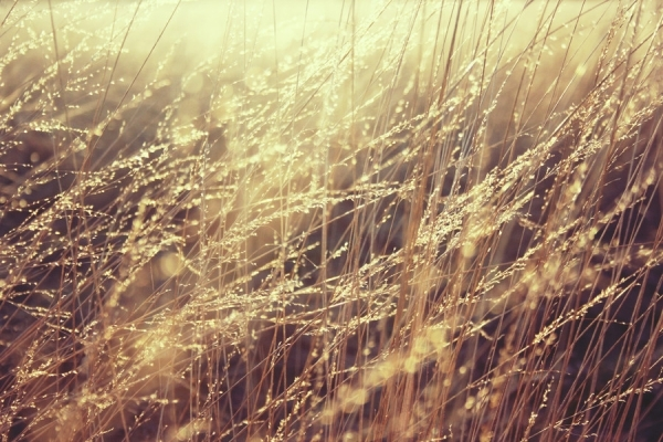 Lovely Golden Grass
