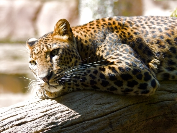 lazing leapard wallpaper 40 Awesome HD Wallpapers Collection