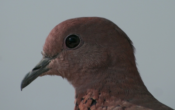 Egyptian Colared Dove