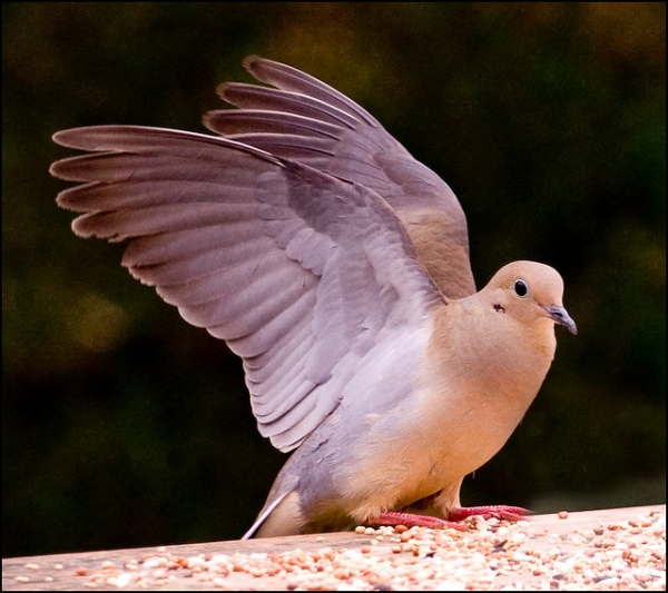 elegant dove 20 Beautiful Pictures of Doves
