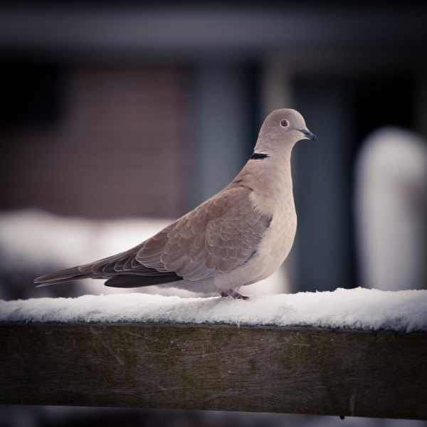 Searching Dove