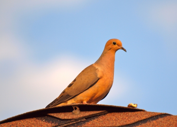 Thoughtful Dove