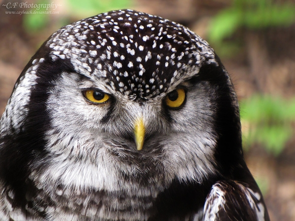 Sitting Hawk Owl