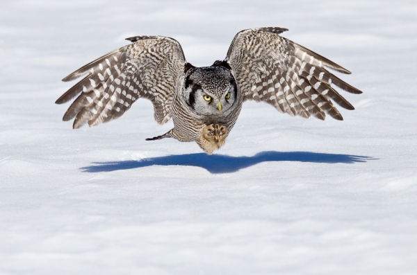 White Hawk Owl