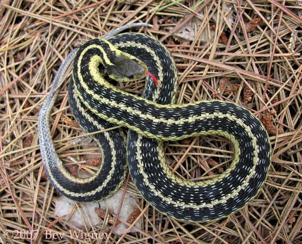 another garter snake 30 Amazing Garter Snake Pictures