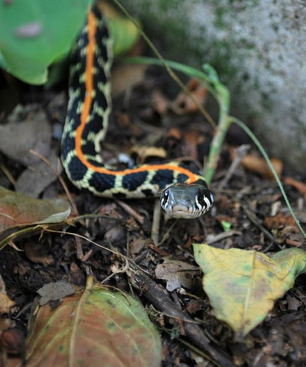 Black Necked Garter Snake