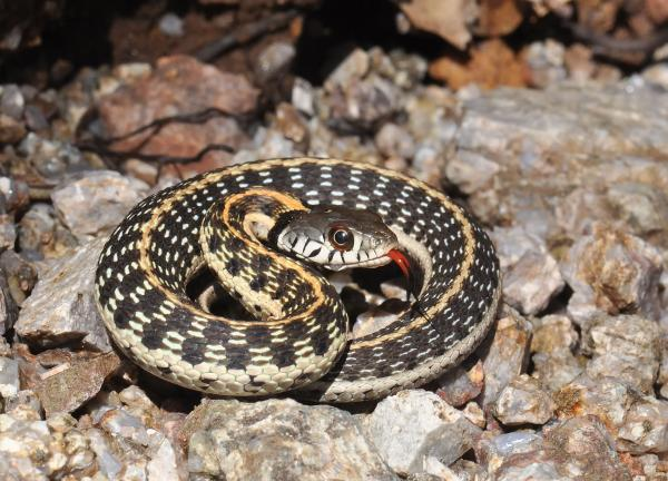 Black Necked Gartersnake